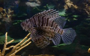 Lionfish .:stock:. by PixlPhantasy