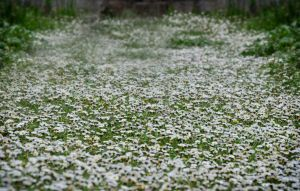 Field of little white flowers by Georgina-Gibson