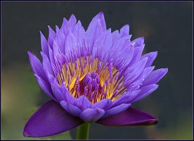 Waterlily Purple by Firey-Sunset