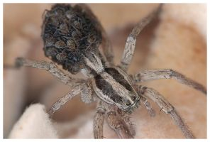 Wolf Spider with Babies by madrush08