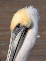 pelican by terrybare