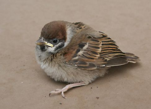 Poor Young Sparrow by SouHkman