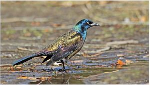 Common Grackle by Ryser915