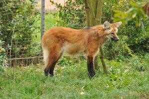 Maned wolf stock 14 by windfuchs