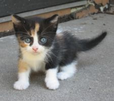 B Calico Kitten - 5 Weeks Old by BlueTrillium