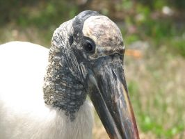 Wood Stork 2 by Polly-Stock