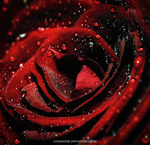 Red Rose by chamathe