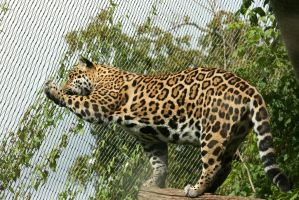look to jaguar 6 by ingeline-art