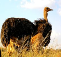Ostrich Male by Jenvanw