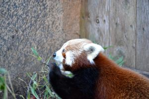 red panda. by exastrisscientia
