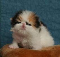 Persian Cats and Kittens23 by moath99