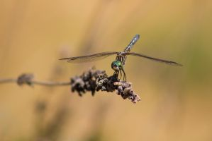 Blue Darter Dragonfly by blackwolf085