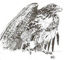 Hawk by Meanderly