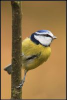 Blue Tit II by nitsch