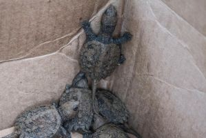 Baby Snapping Turtles by MegnRox15