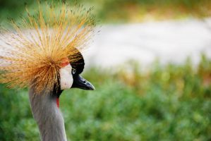 Crowned Crane 7 by lostreality91