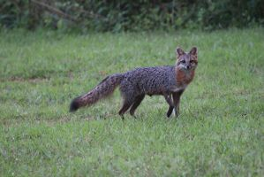 Little Gray Fox - June 2014 by CrystalMarineGallery