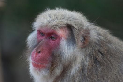 Portrait of a Monkey by Salgor