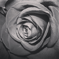 Black and White Rose by xXTheAmazingEmilyXx