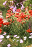 Poppies by Coquin