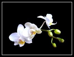 White Orchid.... by Pjharps