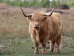 Highland cattle 23-4-17 by pell21