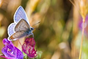 Common Blue by dalantech