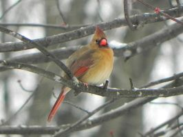 Female Cardinal by Lou-in-Canada