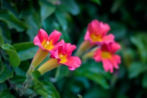 Varicolor Trumpet Vine by theflightoffancy