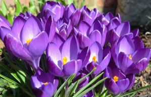 Spring Crocus by WhirlingBlue