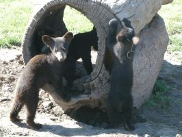 Baby Bears Playing by MadForHatters