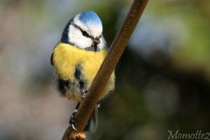 Soulful blue tit by Momotte2