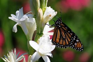Monarch on Tuberose by CASPER1830