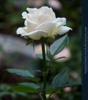 White Rose I by kuschelirmel-stock