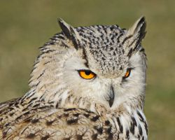 Eagle Owl by UdoChristmann