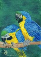 Blue and Gold Macaw Pair by DG-Studios
