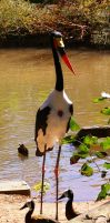 Saddle Billed Stork by OverStocked