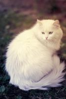 White Cat by Alvirdimus