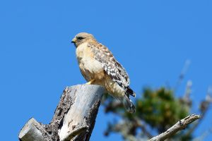 Red Shouldered Hawk by FeralWhippet