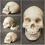 Human skull by seriousbadger