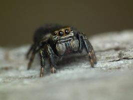 Jumping Spider by 4thRico
