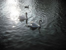 Pair of Swans by betterwatchit