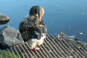 Geese51 by MaelstromStock