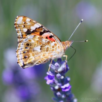 Painted lady by Jorapache