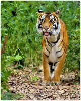 Siberian Tiger by justinblackphotos