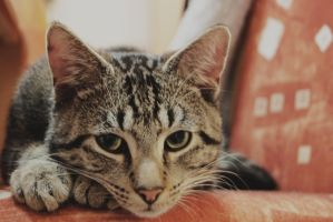 the cat V by IndigoPhotographie