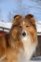 Santtu the Sheltie 13 by Geisari