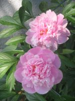 Peonies by caybeach