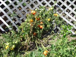Tomato-plant by dtf-stock