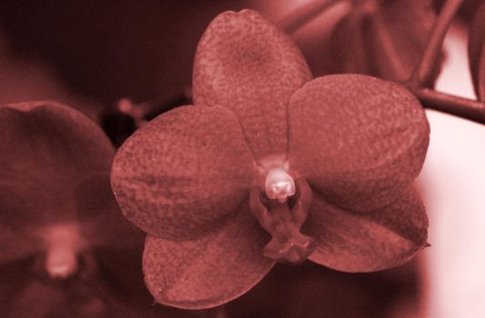 Orchid Experiment by inmediasres